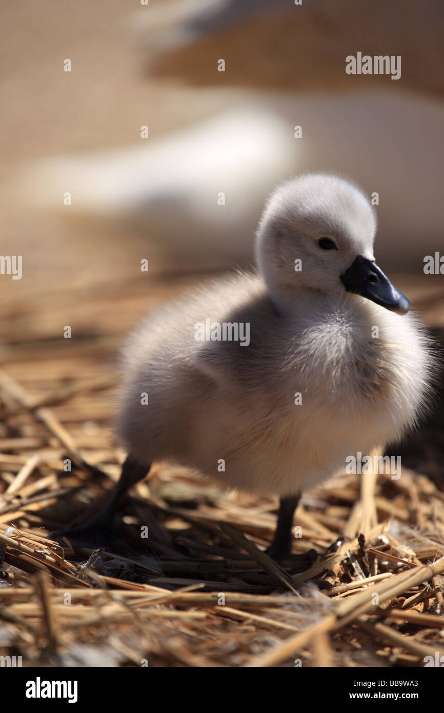 Newly hatched baby cygnet at Abbotsbury Swannery Dorset England Stock Photo
