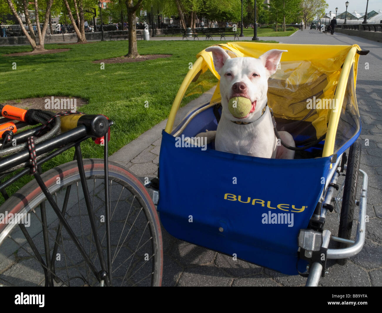 Bumpy, a white Pit Bull, with his ball in his new trailer at Battery Park City. ©Stacy Walsh Rosenstock/Alamy - Stock Image