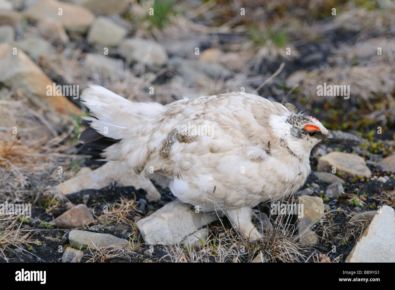 Ptarmigan Lagopus muta male summer feathering at mating time Stock Photo