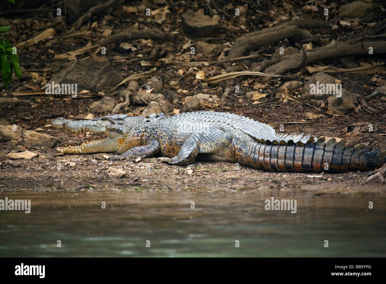 Saltwater crocodile (Crocodylus porosus) in the Mary River Wetlands.  Mary River National Park, Northern Territory, - Stock Image