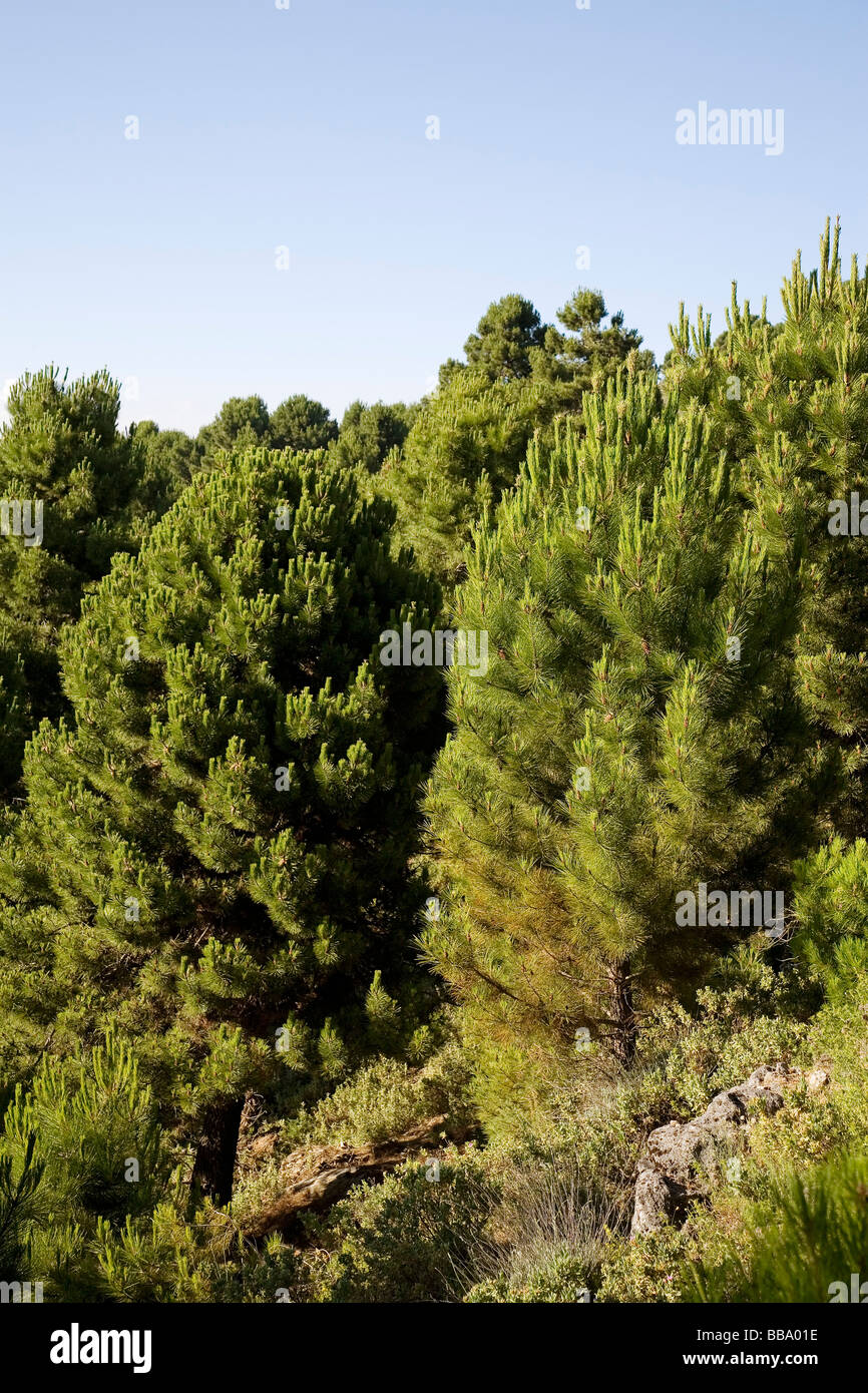 Bosque de Pinos Serranía de Ronda Málaga Provincia Andalucía España Forest Pines Serrania de - Stock Image
