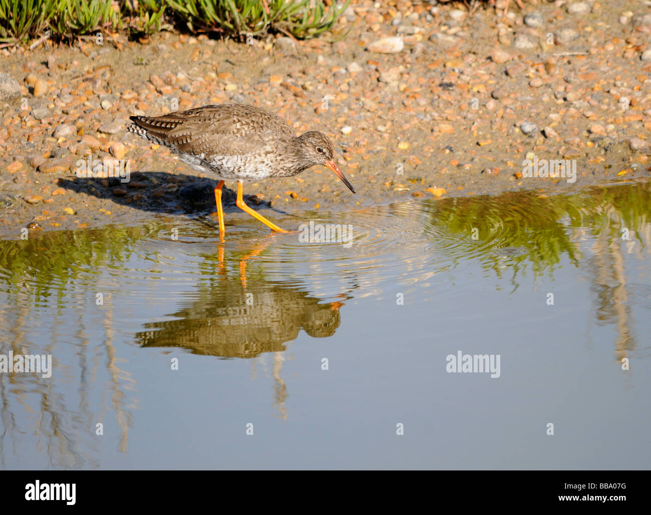 A Redshank (Tringa totanus) searches for invertebrates among the stones on the edge of a shallow lake - Stock Image