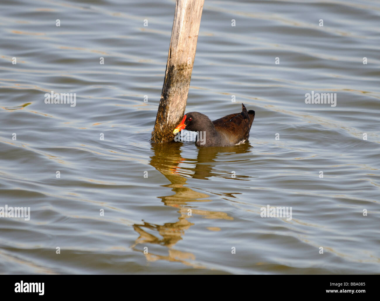 A Moorhen (Gallinula chloropus) feeds on algae growing on a post. - Stock Image