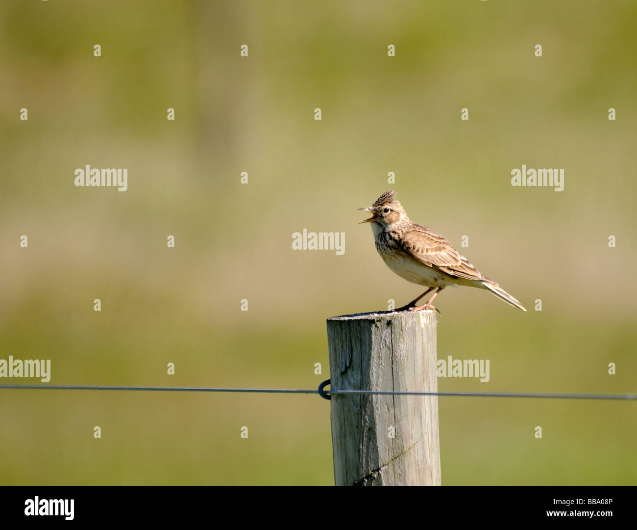 A skylark (Alauda arvensis) stands singing on a fence post. - Stock Image