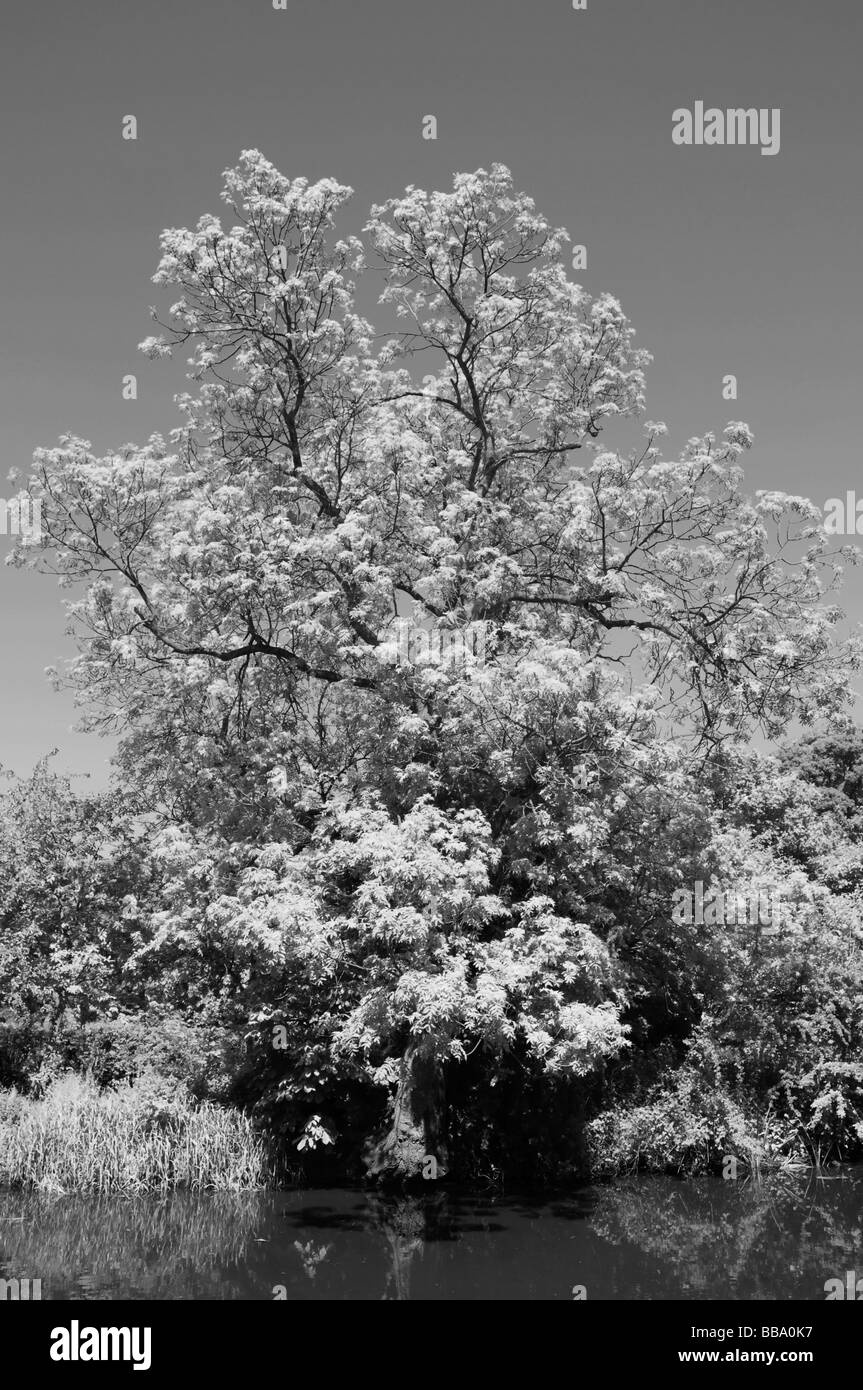 Tree on the towpath near Barow upon Soar, Leicestershire, Infra red effect. - Stock Image