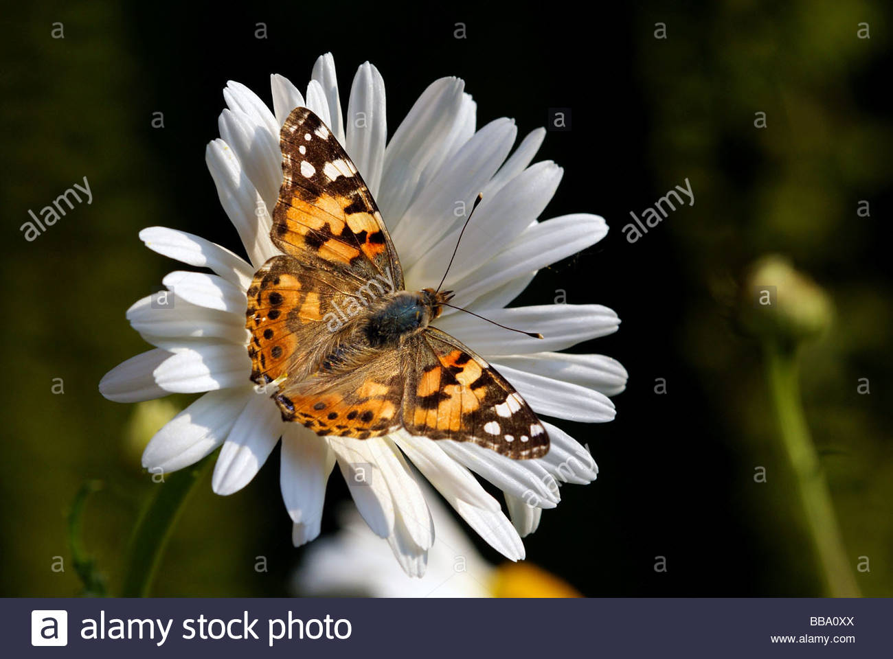 Cynthia cardui   Painted Lady also named the Cosmopolitan   Vanesse du chardon ou Belle Dame - Stock Image