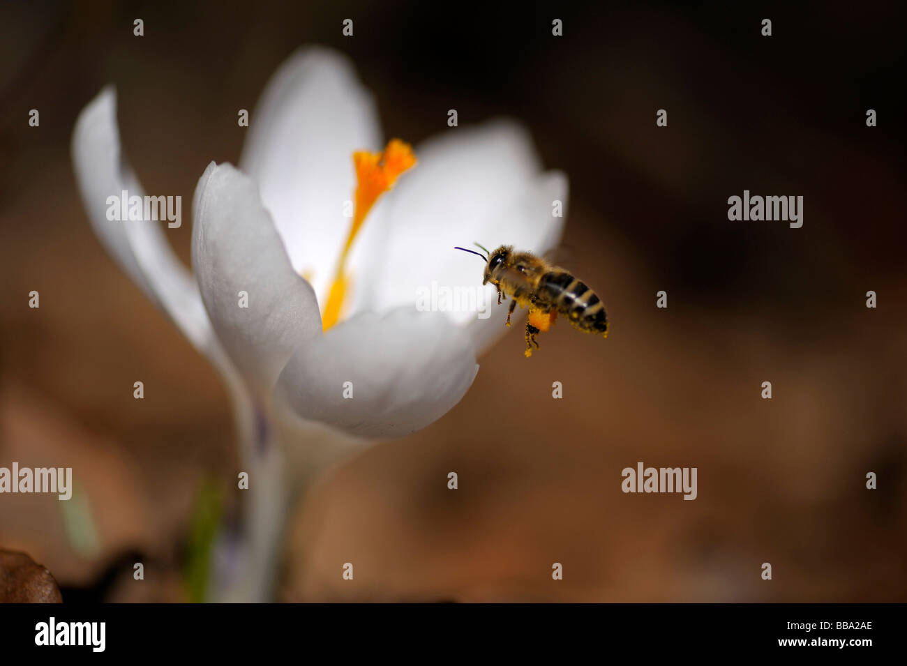 White crocus (Crocus) with settling honey bee (Apis mellifera) - Stock Image