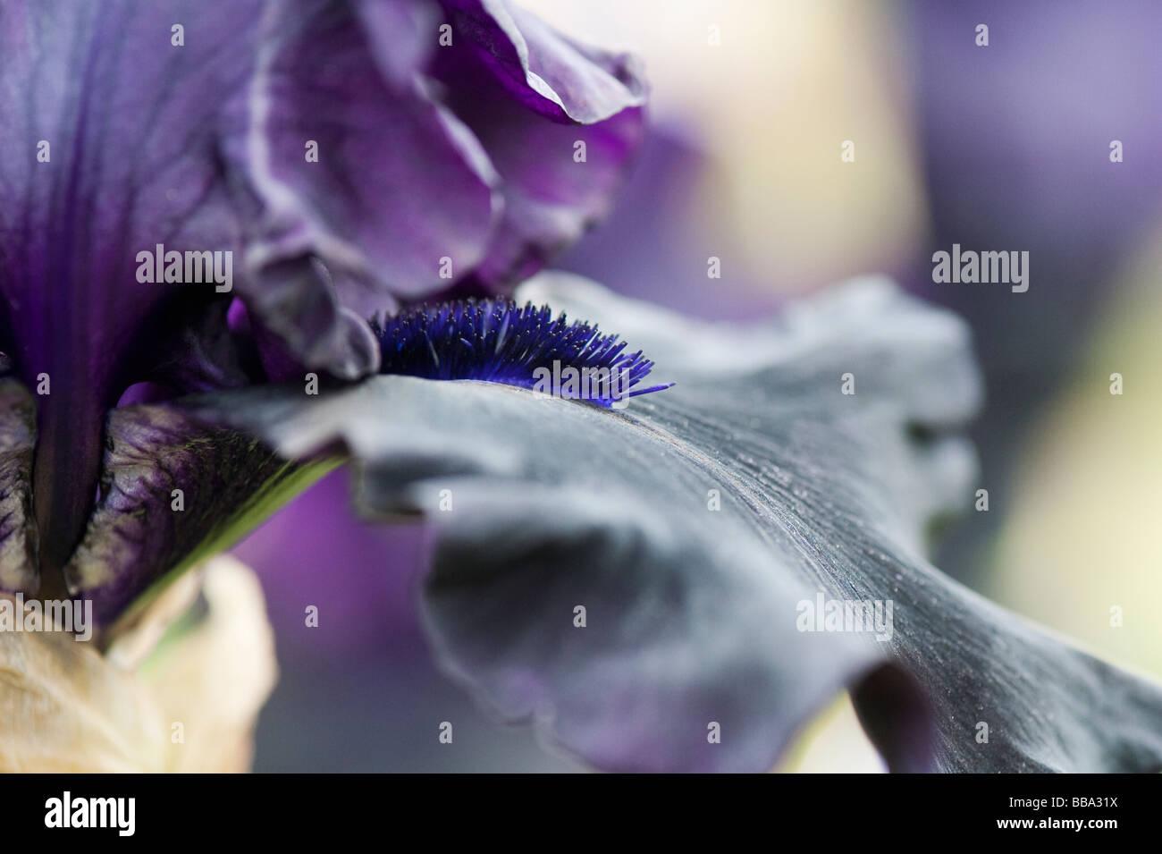 Bearded iris 'hello darkness' flower - Stock Image