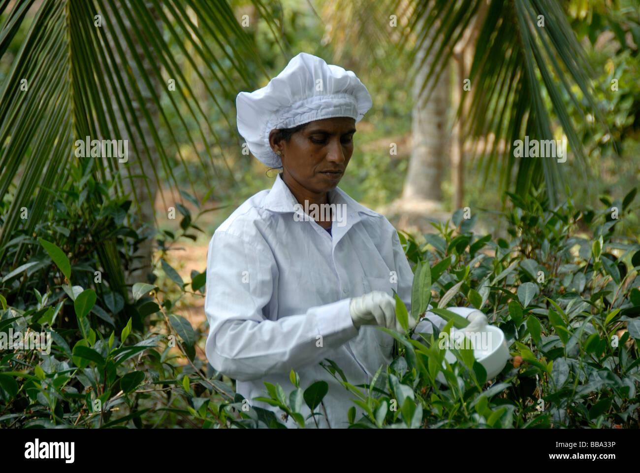 Tea harvest, Singhalese woman, tea plucker, picking tea leaves for white tea with gloves and scissors, Handunugoda - Stock Image