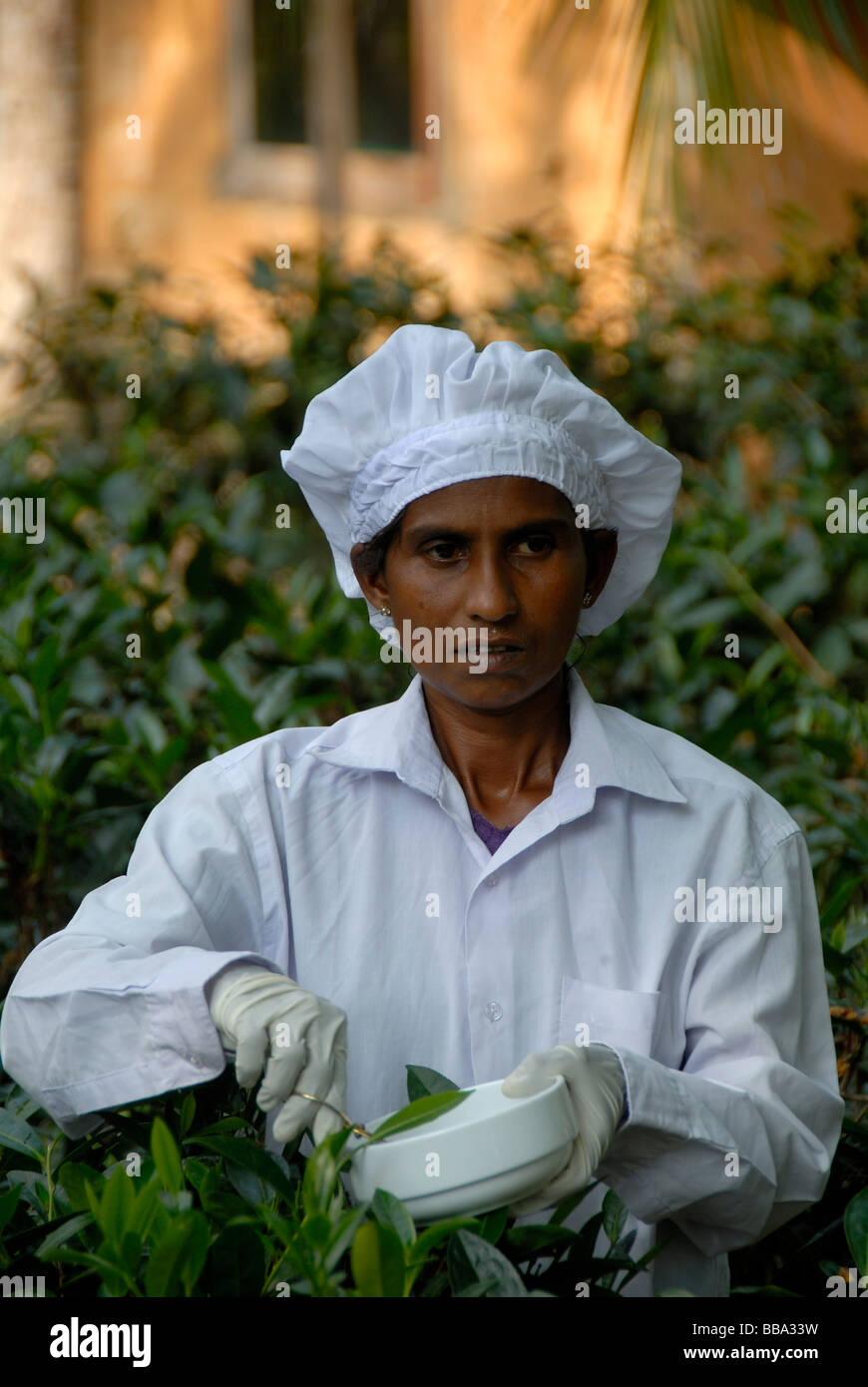 Portrait, Singhalese woman at tea harvest, tea plucker picking tea leaves for white tea with gloves and scissors, - Stock Image