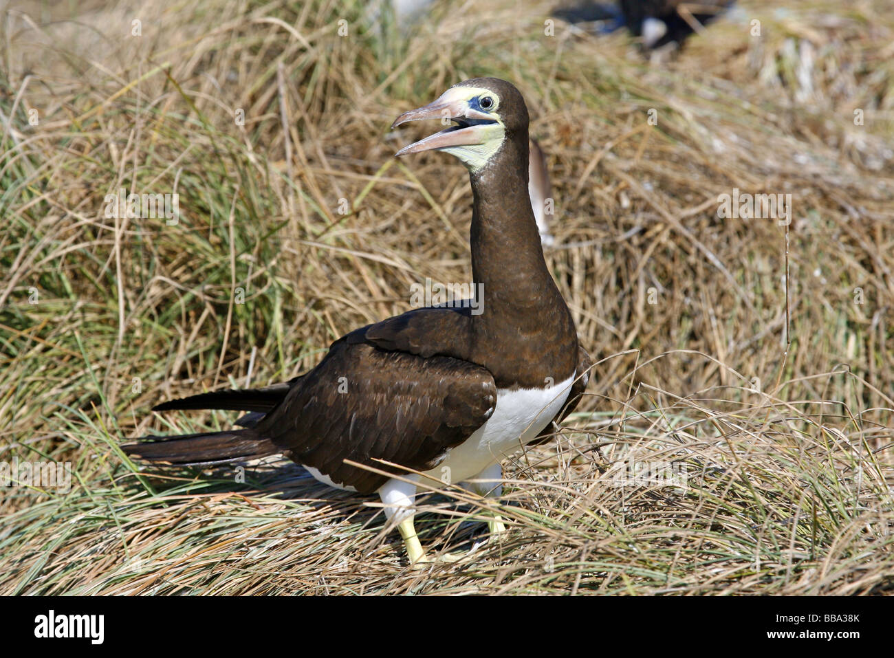 Brown Booby cooling itself by gular fluttering - Stock Image