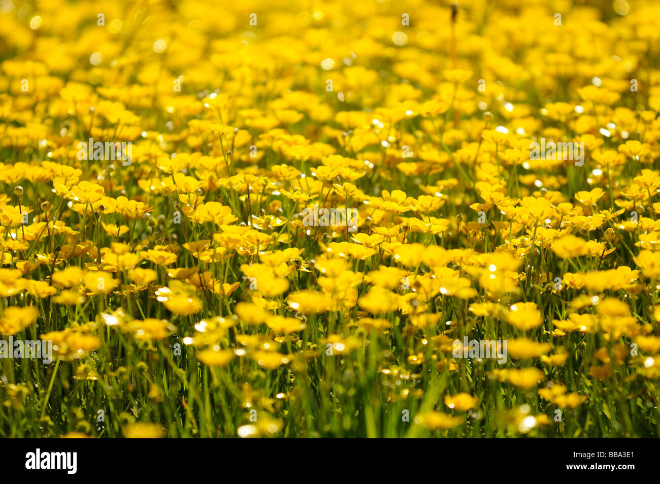 A close up shot of a large patch of yellow meadow buttercup flowers a close up shot of a large patch of yellow meadow buttercup flowers in field mightylinksfo
