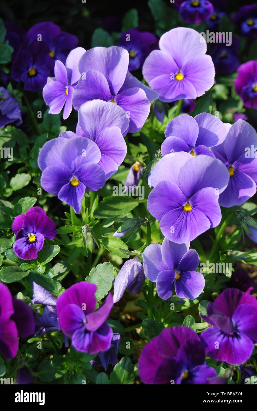 Pansies (Viola), purple - Stock Image