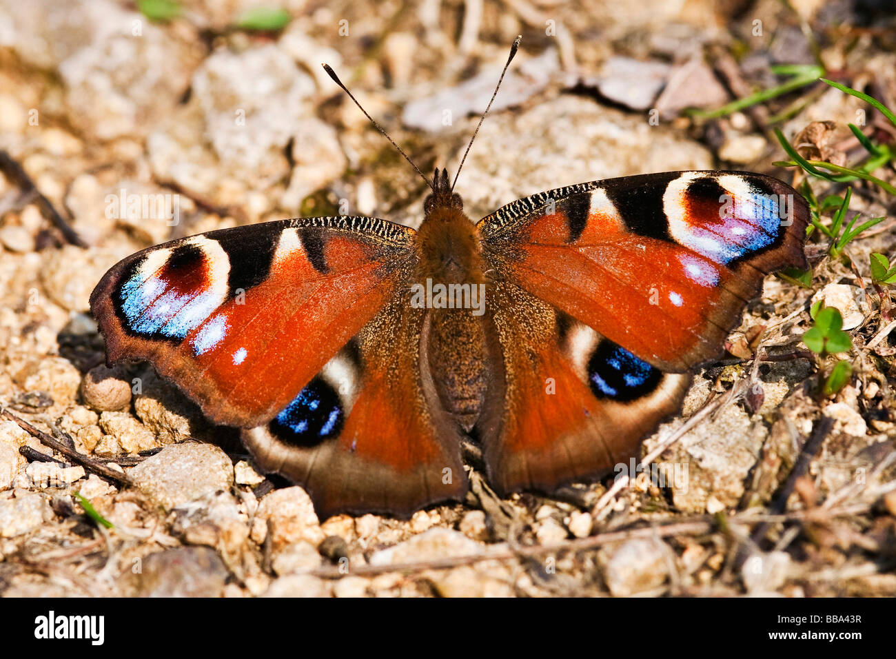 European Peacock butterfly (Inachis io) - Stock Image
