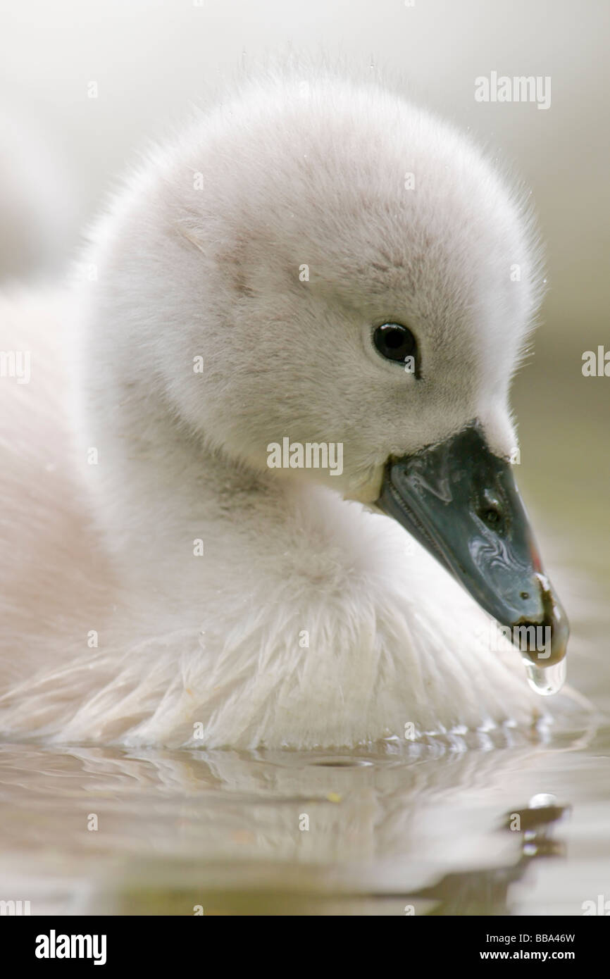 Mute Swan Cygnet - Stock Image