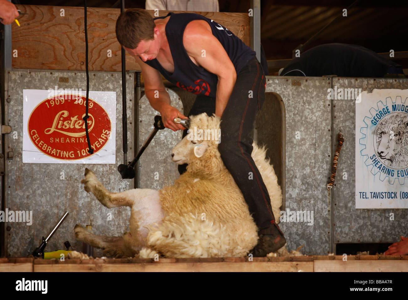 Sheep Shearing at Devon County Show - Stock Image