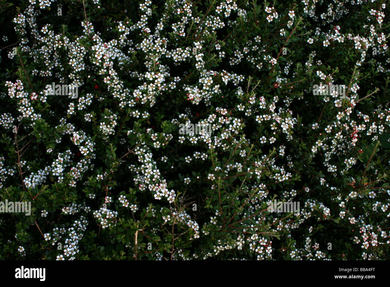Bush With White Flowers Stock Photos Bush With White Flowers Stock