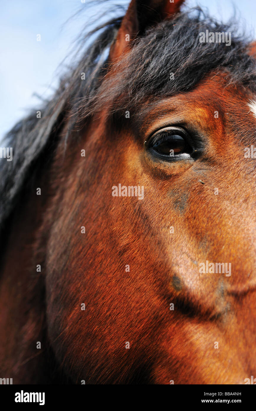 Portrait of a Beautiful brown horse - Stock Image