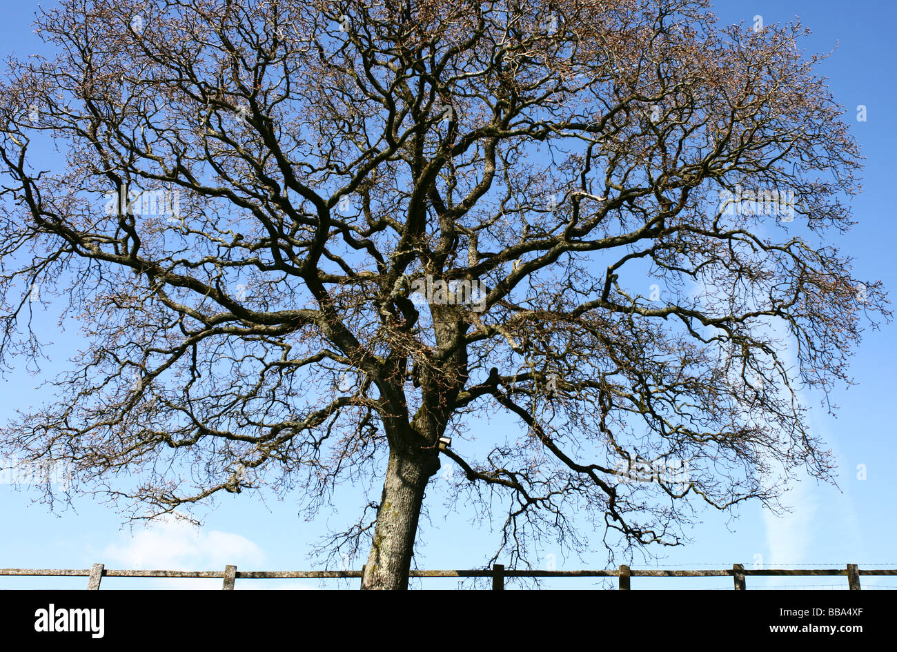 Leafless tree against blue sky, with a fence - Stock Image