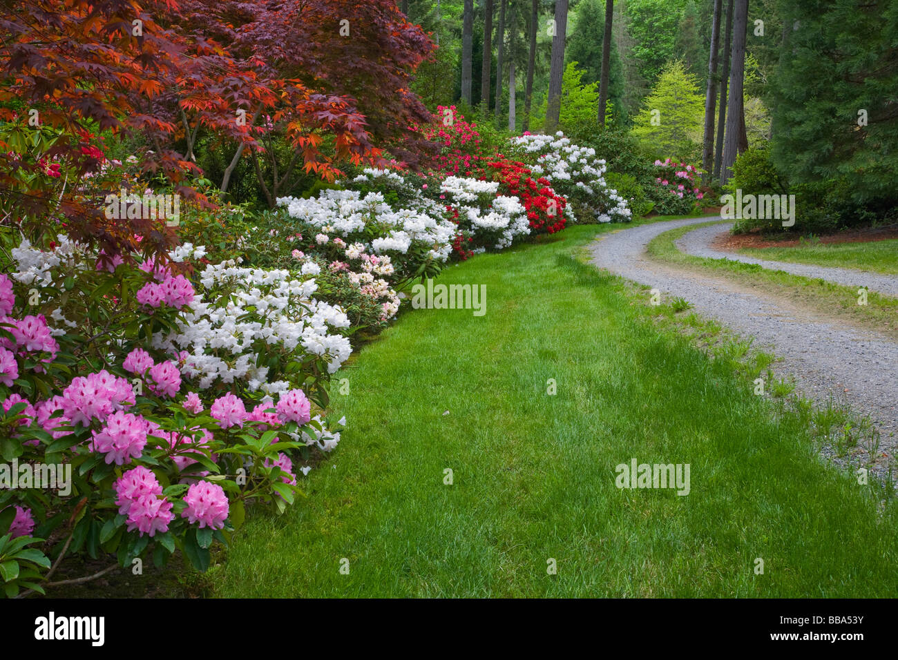 Pacific Northwest garden featuring maples and flowering rhododendron along a curving driveway on Vashon Island, - Stock Image
