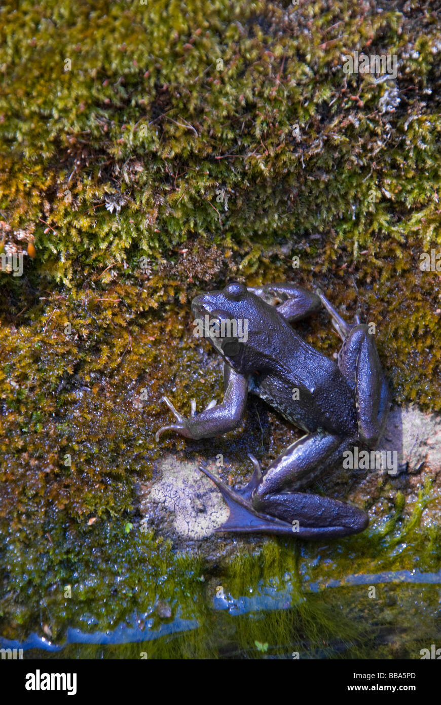 Immature Common Frog (Rana temporaria, c2yr old) by Garden Pond - Stock Image