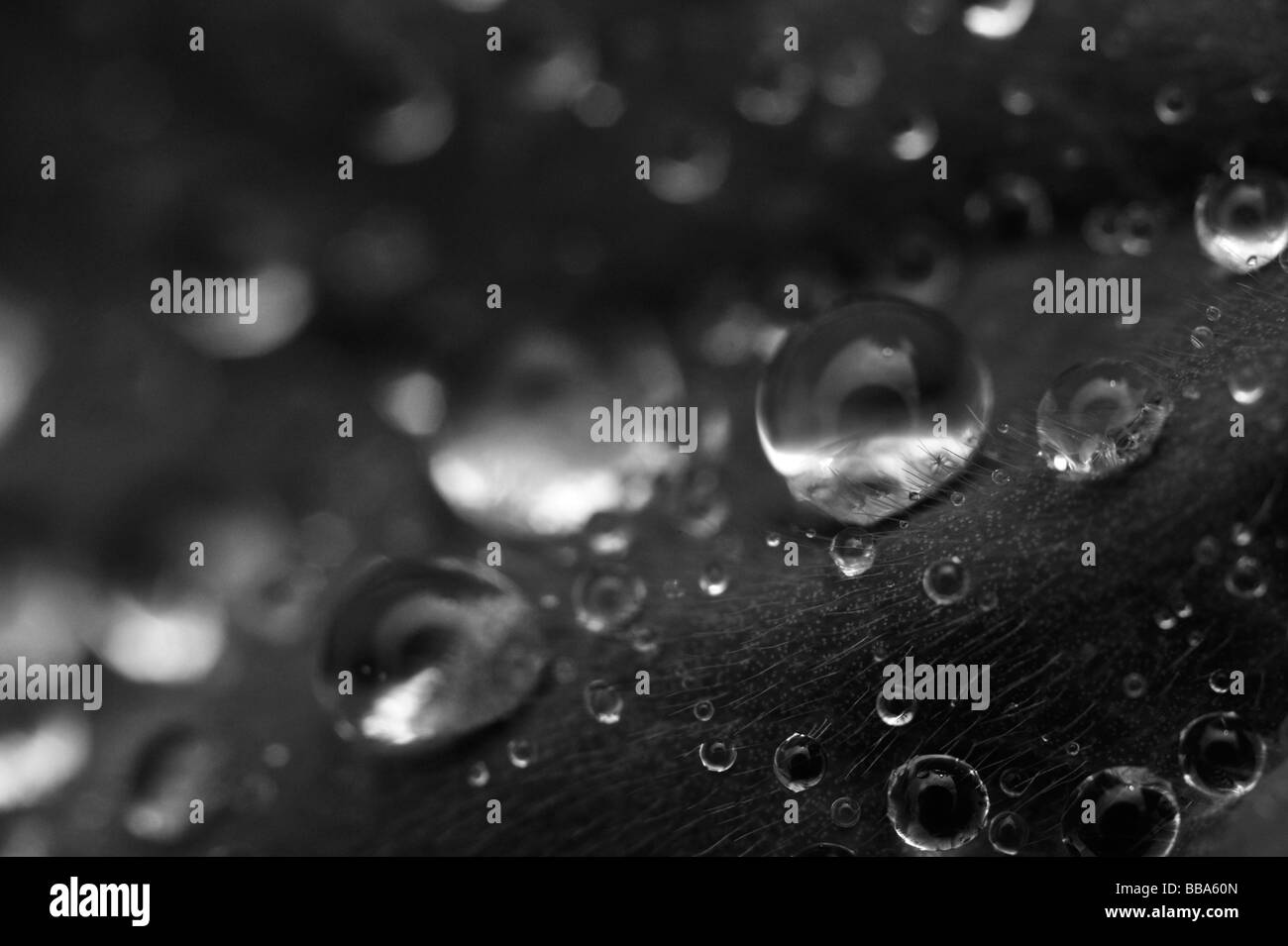 Rain drops on a leaf in close up and black and white. - Stock Image