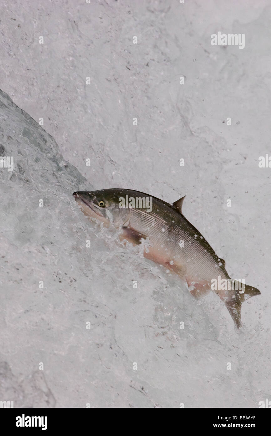 Sockeye Salmon jumping up waterfall to spawn Oncorhynchus nerka Katmai National Park Alaska - Stock Image