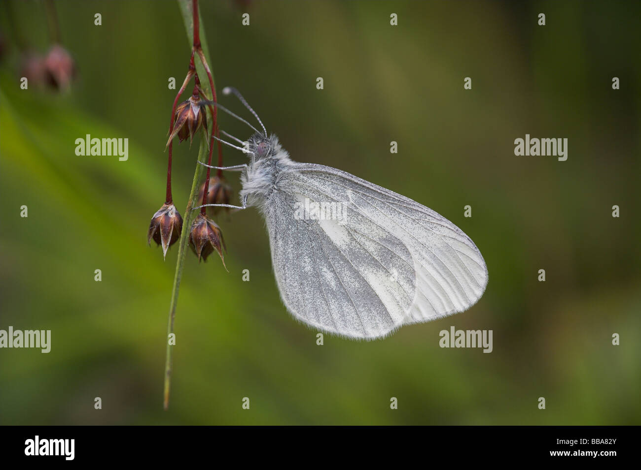 Wood White Leptidea sinapis perched on woodrush sp. Luzula sp. at Haugh Wood, Herefordshire in May. - Stock Image
