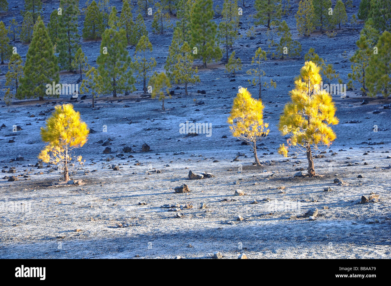 Pine trees on Mt Teide, Tenerife on a frosty morning. - Stock Image
