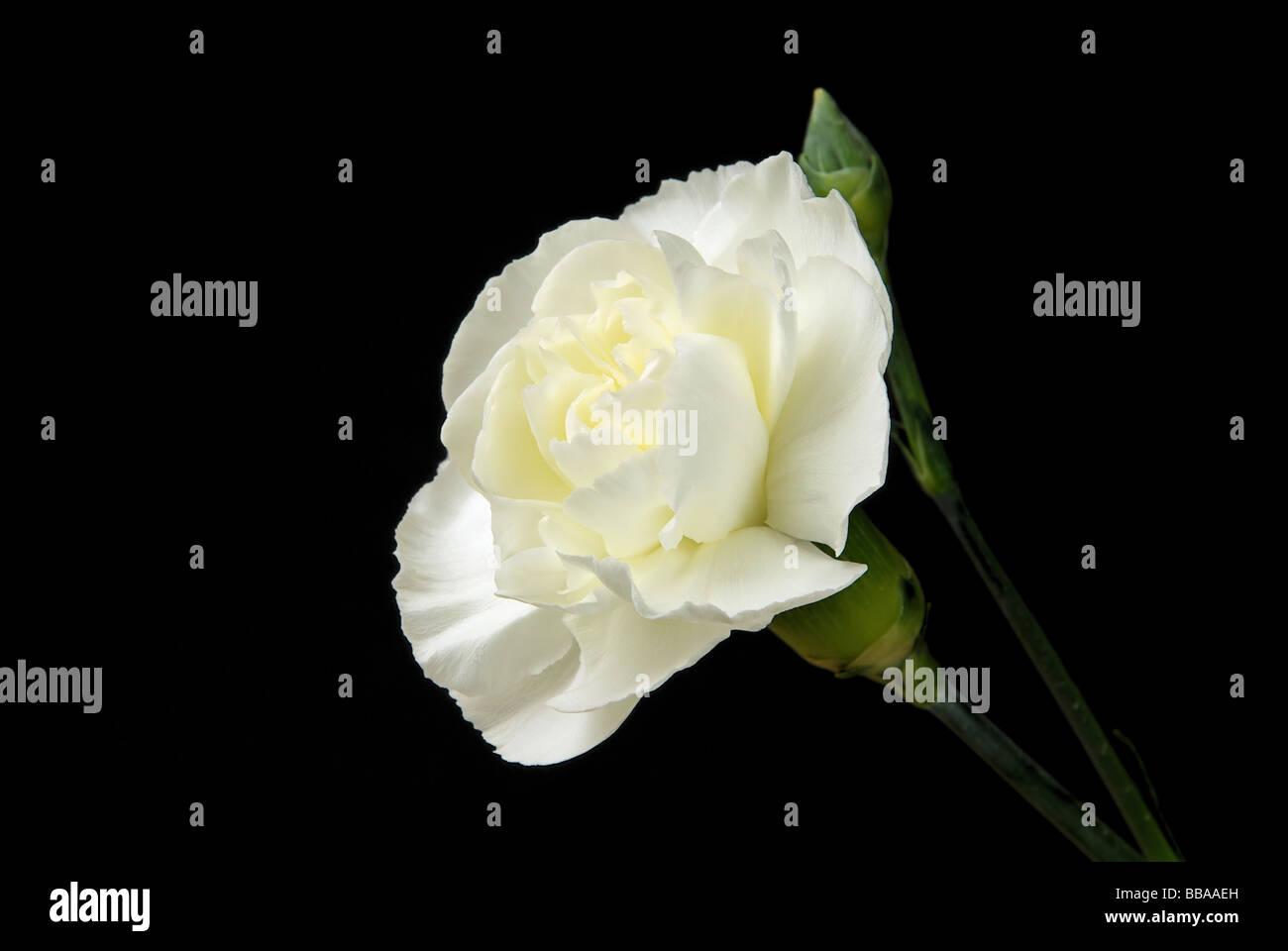 Nelke carnation 04 - Stock Image