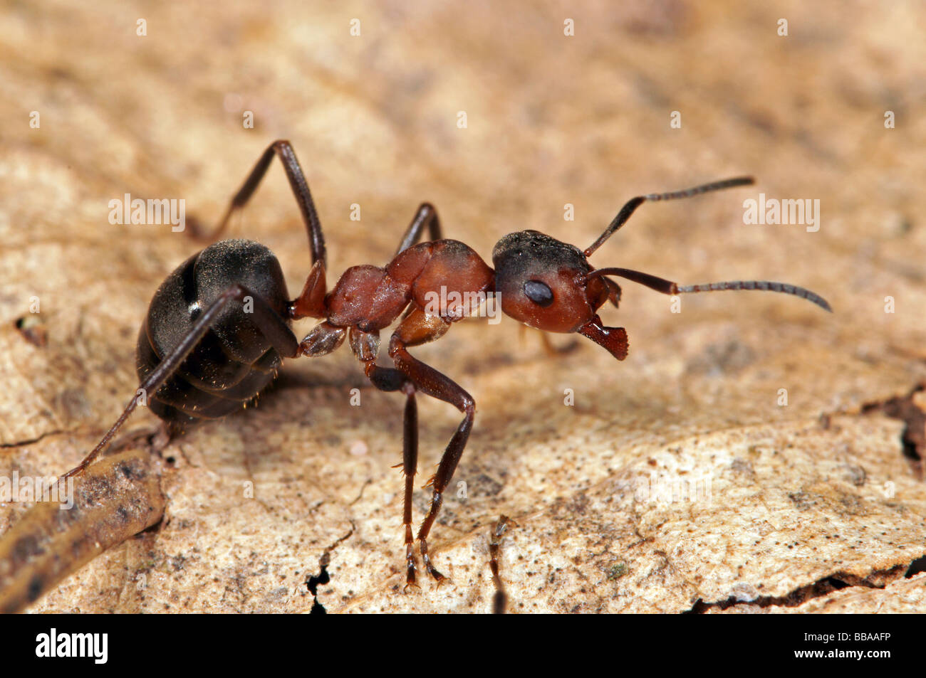 Red wood ant (Formica polyctena) - Stock Image