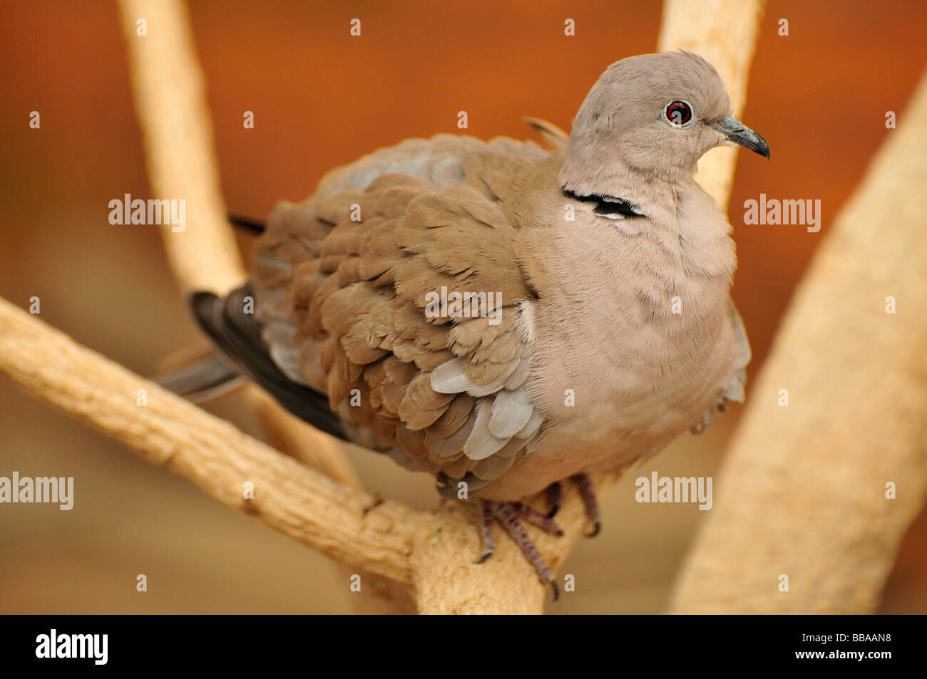 Eurasian Collared Dove (Streptopelia decaocto), in the Al Ain Zoo, Al Ain, Abu Dhabi, United Arab Emirates, Arabia, - Stock Image
