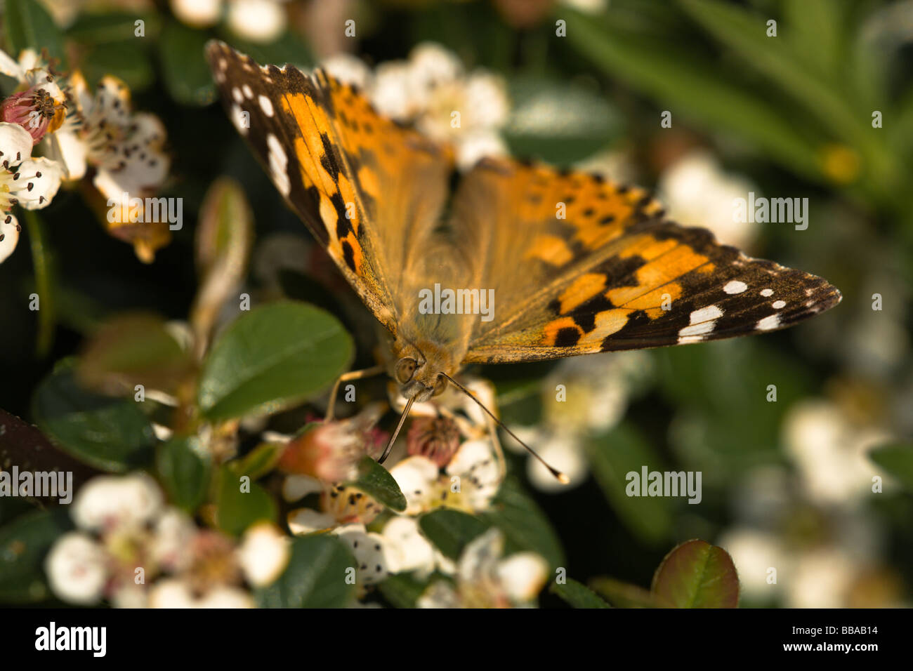 Head and wings of a Painted Lady (Vanessa cardui) butterfly feeding on nectar on a Cotoneaster plant with white - Stock Image