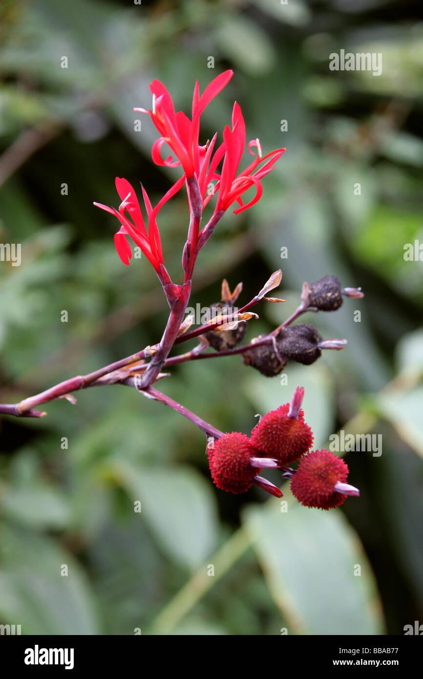Aframomum zambesiacum, Zingiberaceae, Tropical West Africa.  Aframomum Seeds are Used in Treatment of Male Erectile - Stock Image