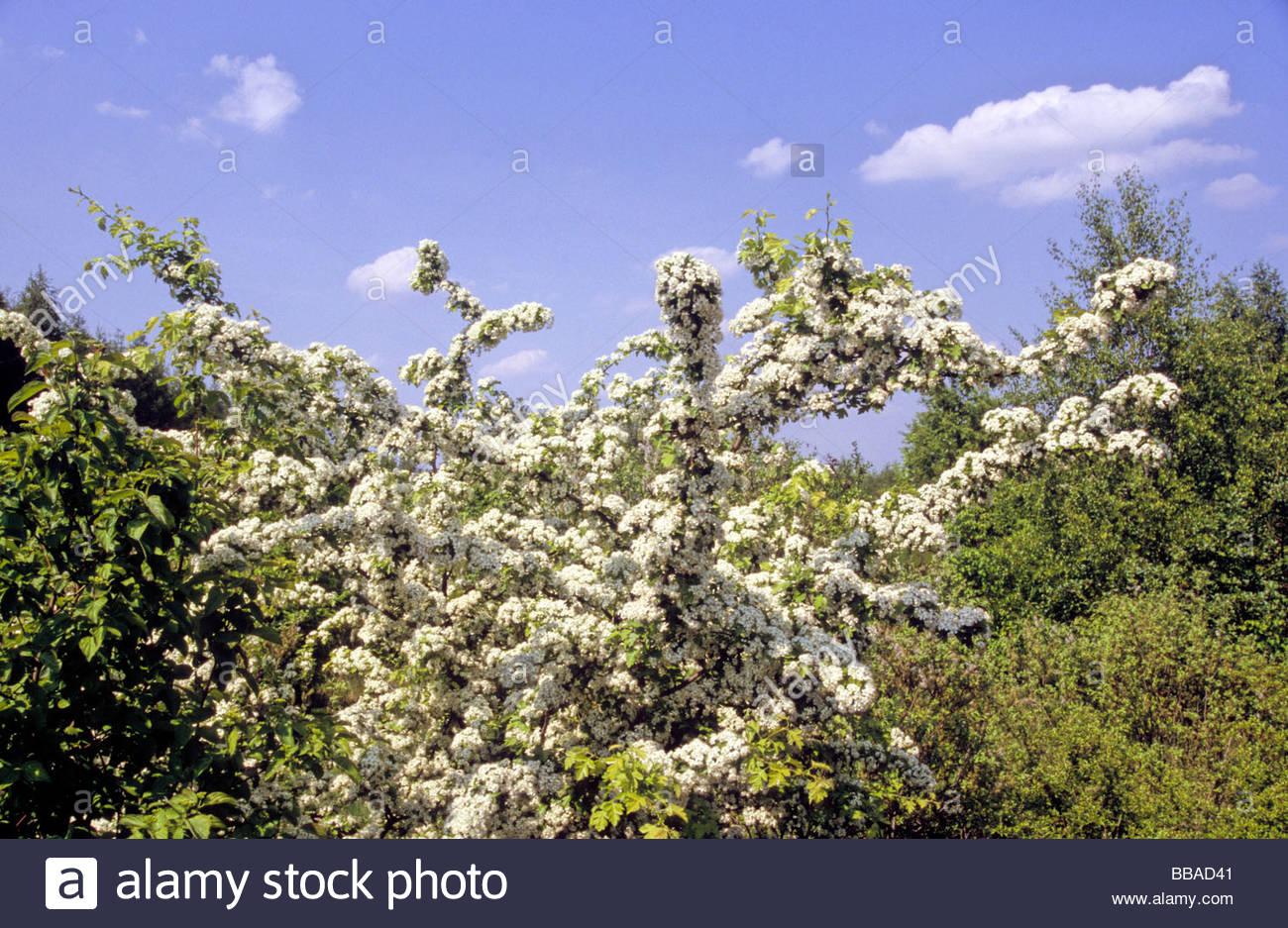whitethorn Germany - Stock Image