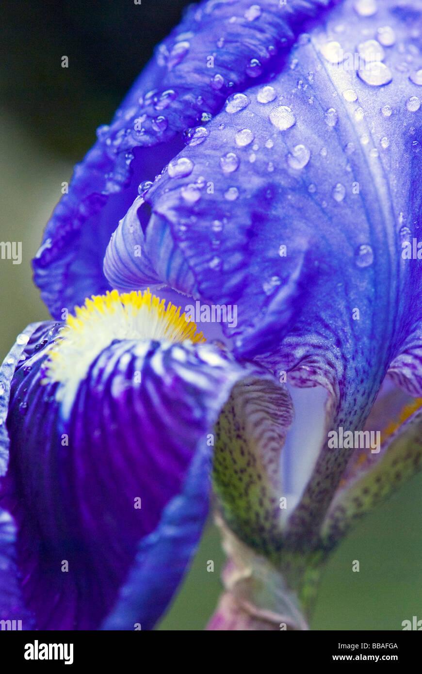 Iris Iridaceae. Purple Bearded Iris. Close up shot - Stock Image