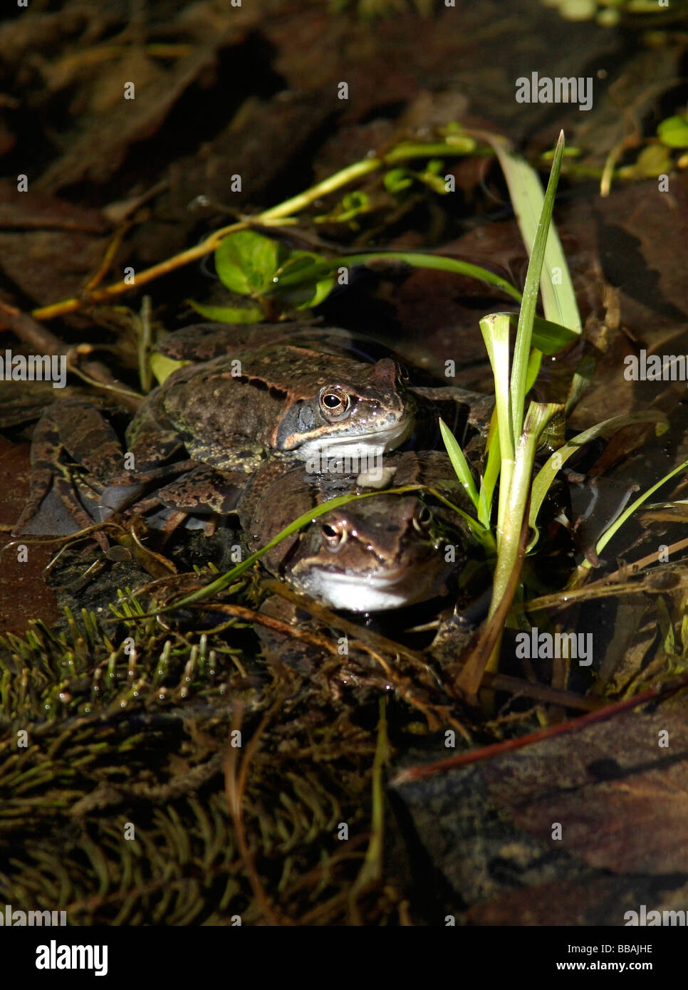 2 Grass Brown Frogs Rana temporaria - Stock Image
