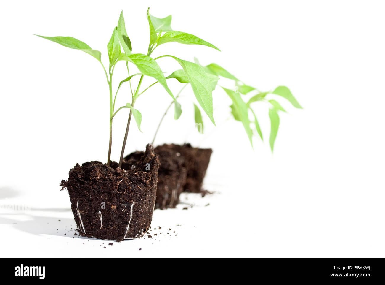young chili plants isolated but still in soil - Stock Image