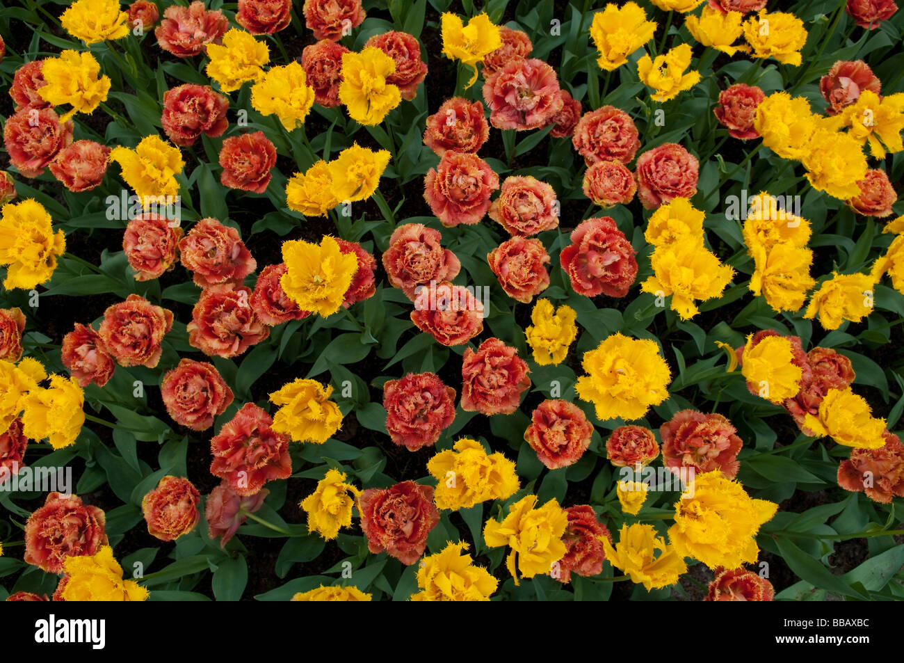 Red and yellow tulips with ragged petal edges - Stock Image