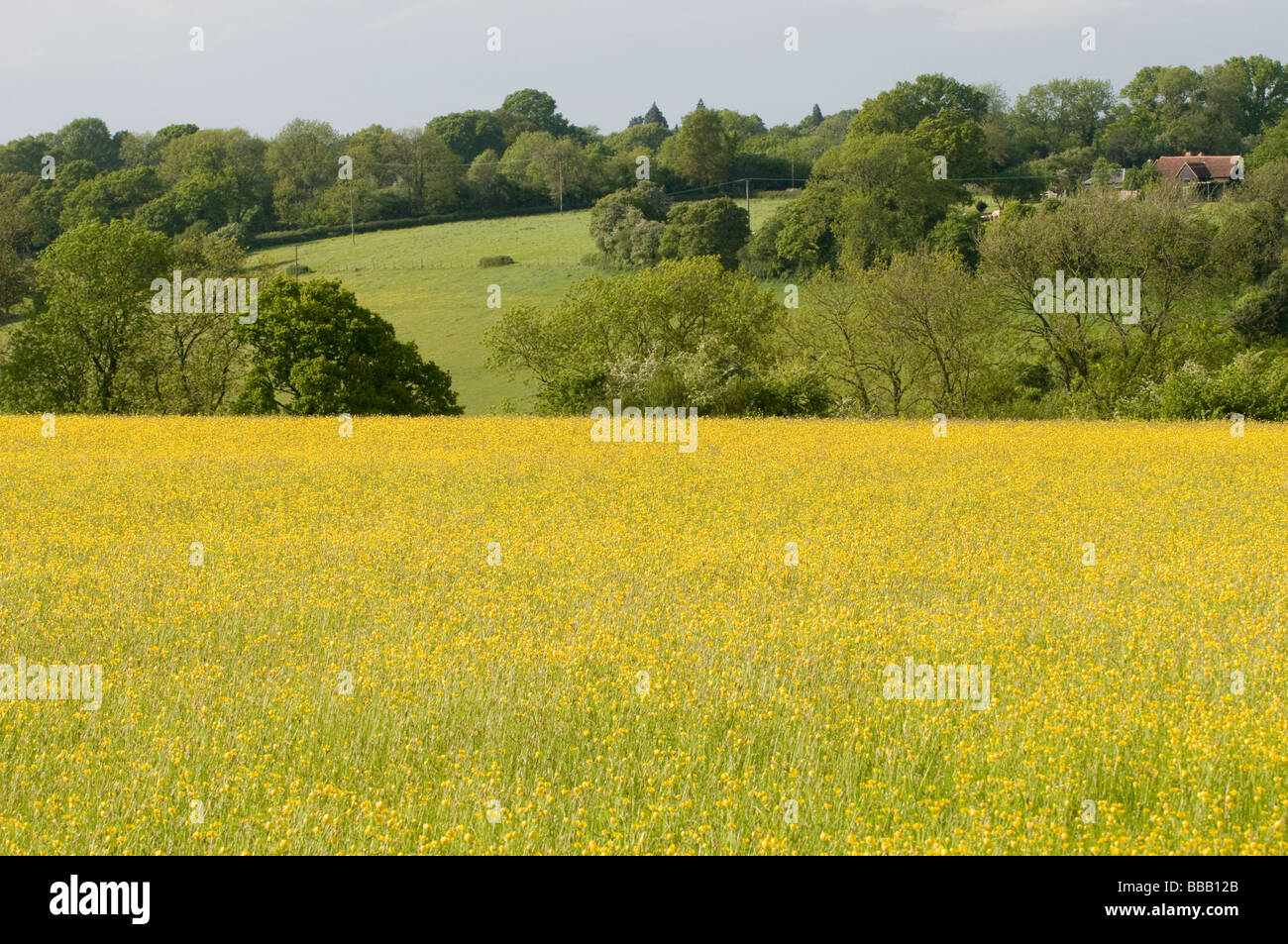 FIELD OF BUTTERCUPS IN THE CHILTERNS Stock Photo