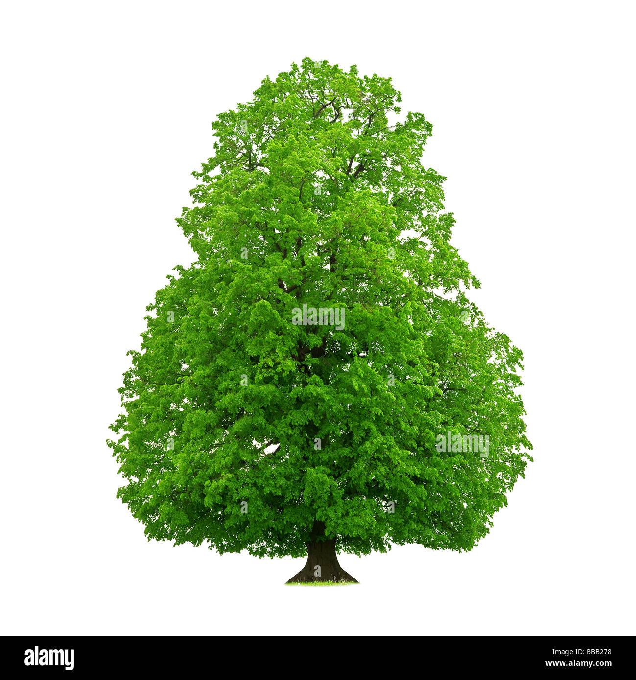 tree isolated on white - Stock Image
