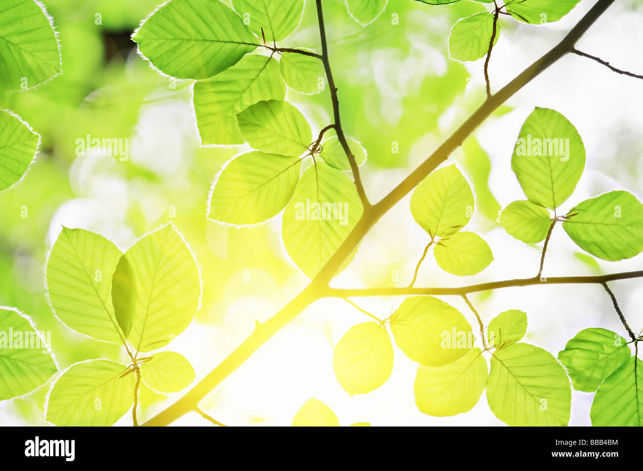 beech leaves and sun light - Stock Image