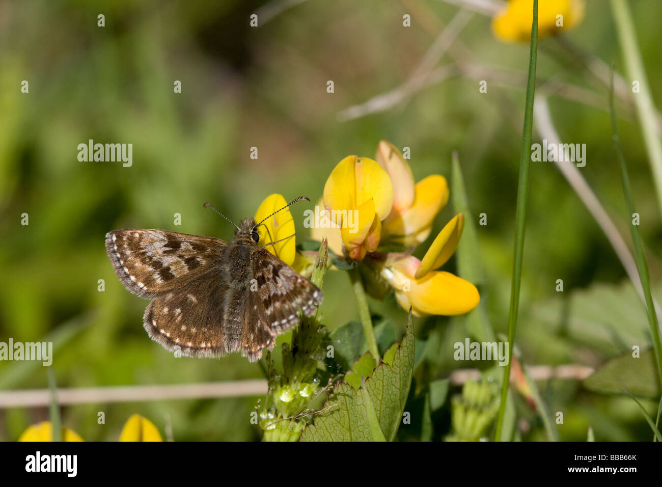 Dingy Skipper Erynnis tages feeding on nectar plant, Birds Foot Trefoil Lotus corniculatus, Herefordshire, UK. - Stock Image
