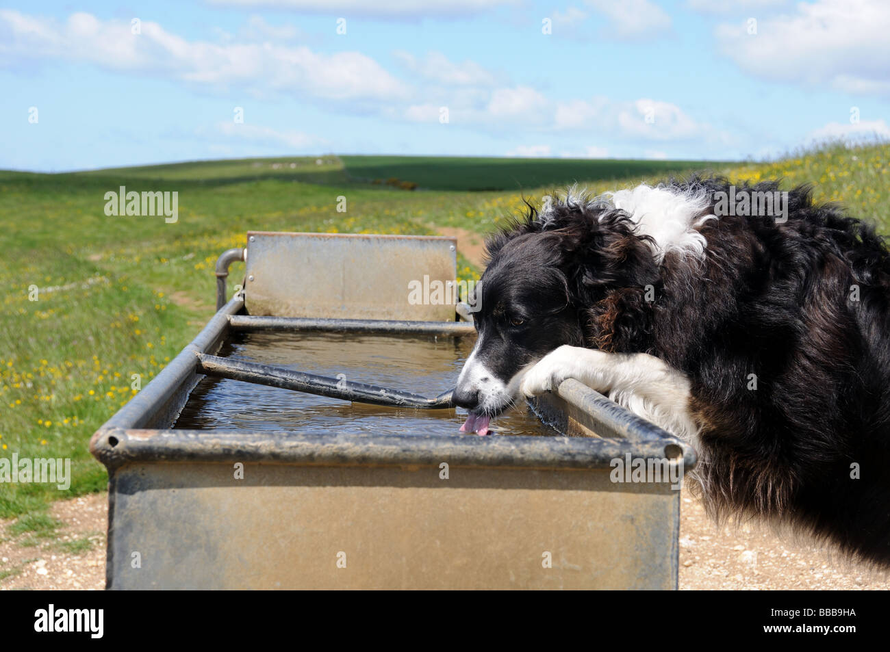 Collie drinking from water trough - Stock Image