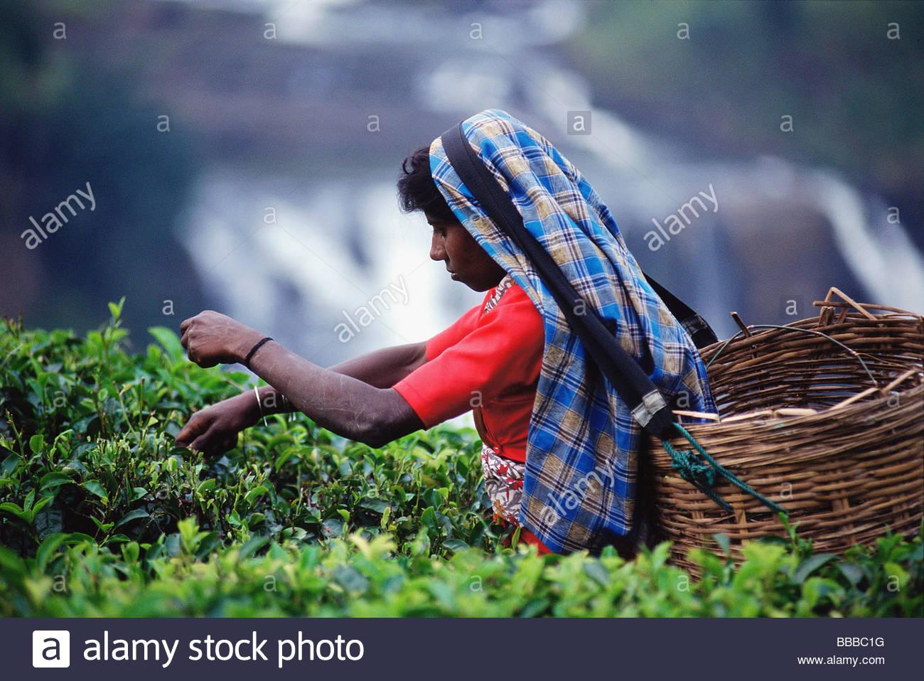 Sri Lanka, Talawakele, Woman picking tea in front of St. Clairs waterfall - Stock Image