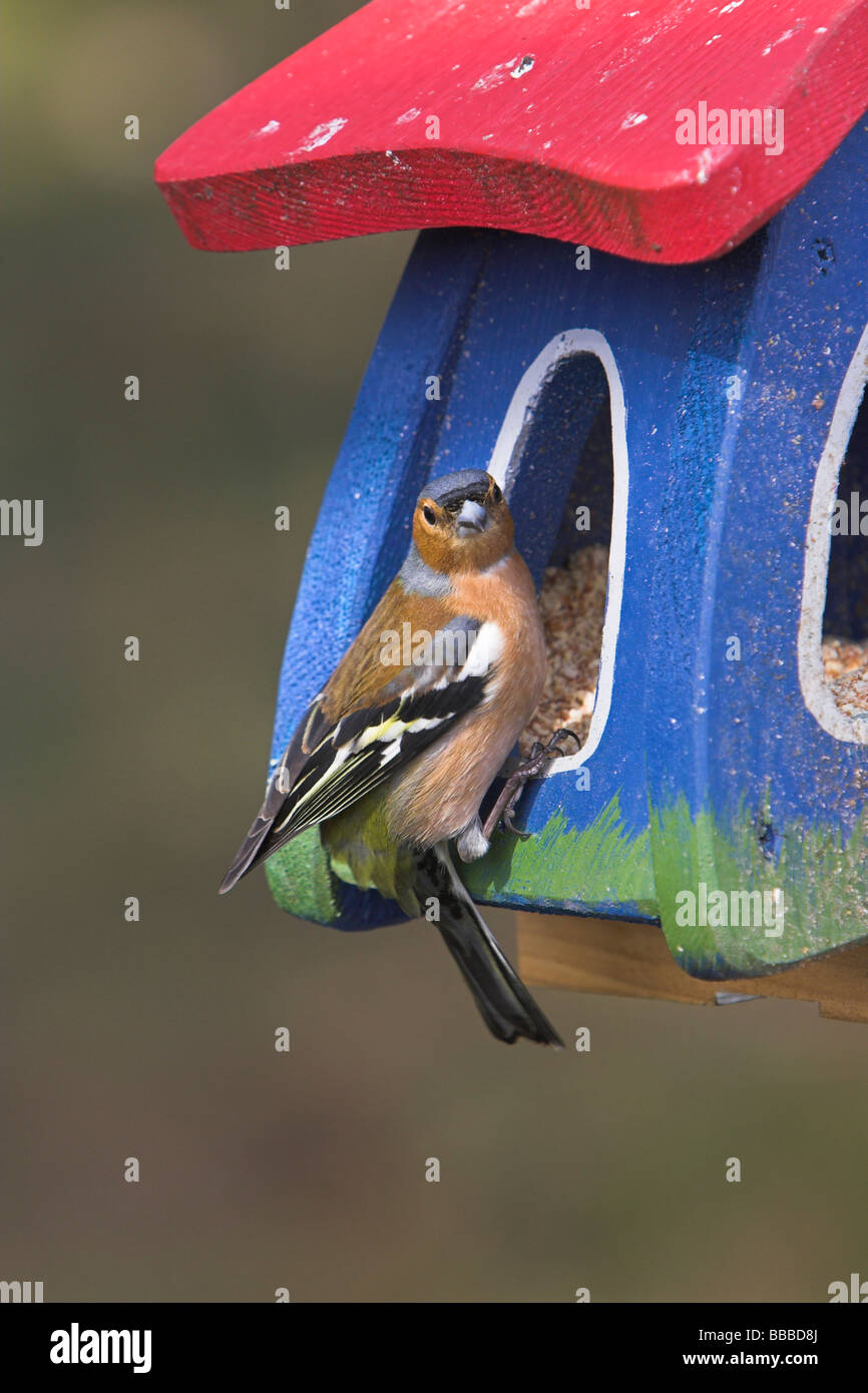 Chaffinch Fringilla coelebs male perched on feeding house at Cairngorm café, Highlands, Scotland in April. - Stock Image