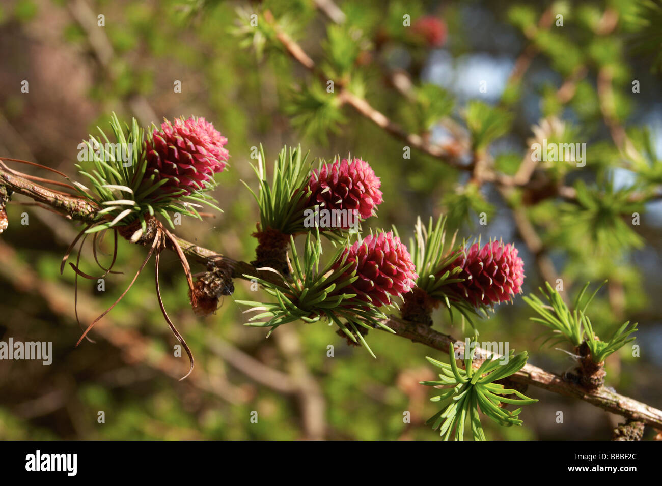 conifer flowers,pink corn - Stock Image