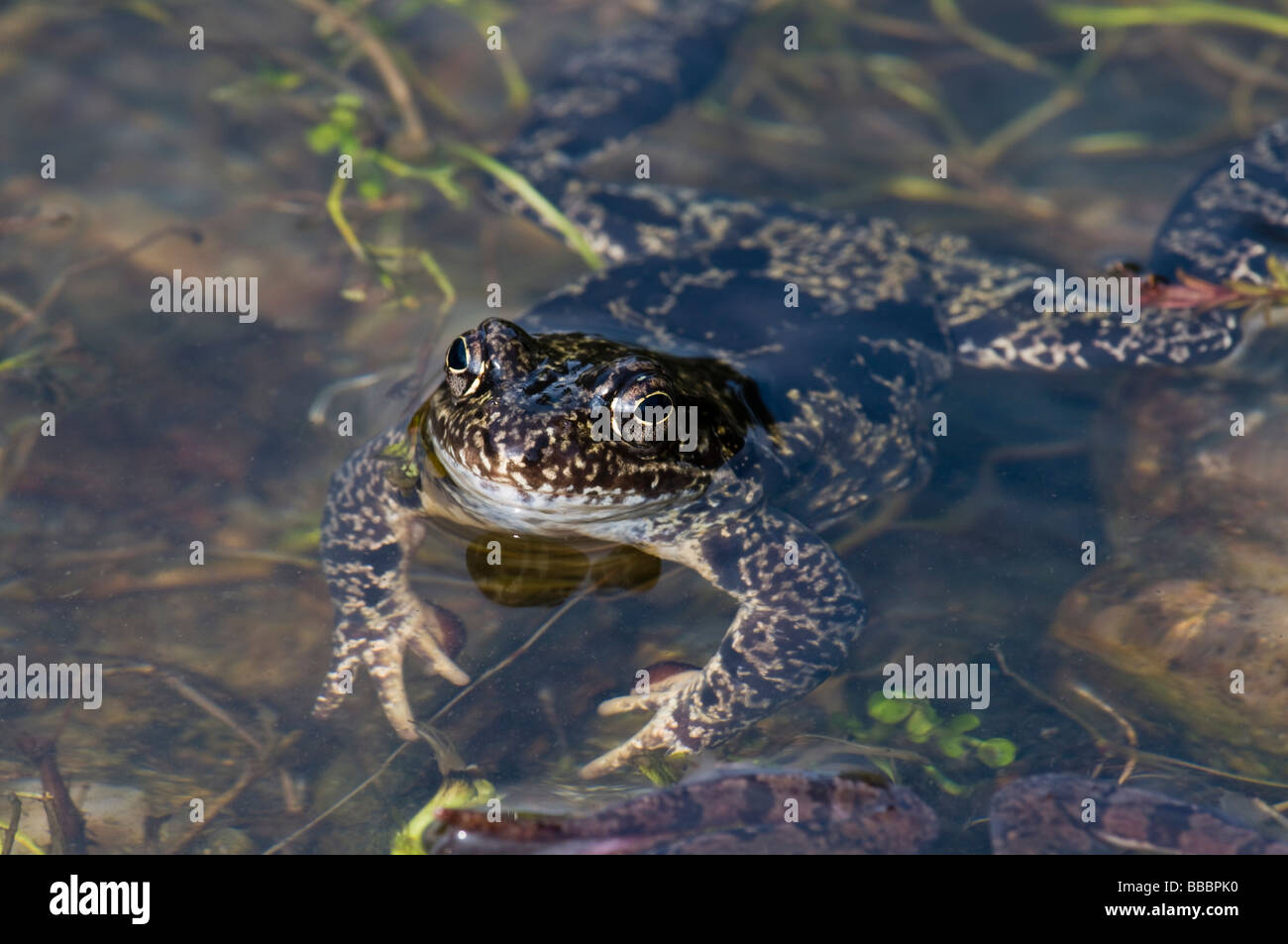 Common Frog (Rana temporaria) among spawn - Stock Image
