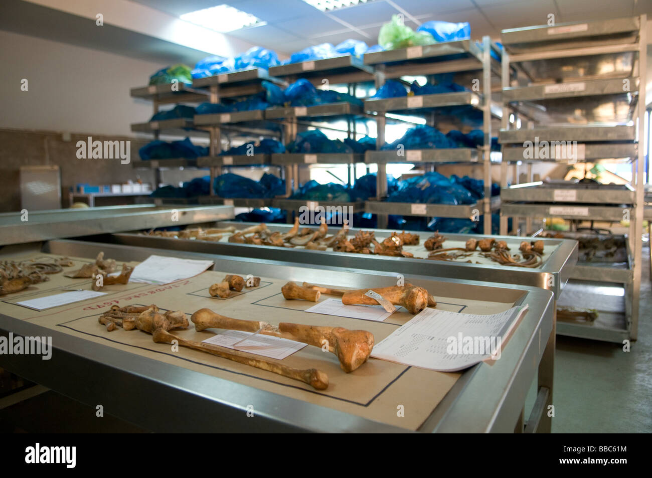 Human bones ready to be examined at the mortuary facility of ICMP commission of missing persons in the town of Tuzla - Stock Image