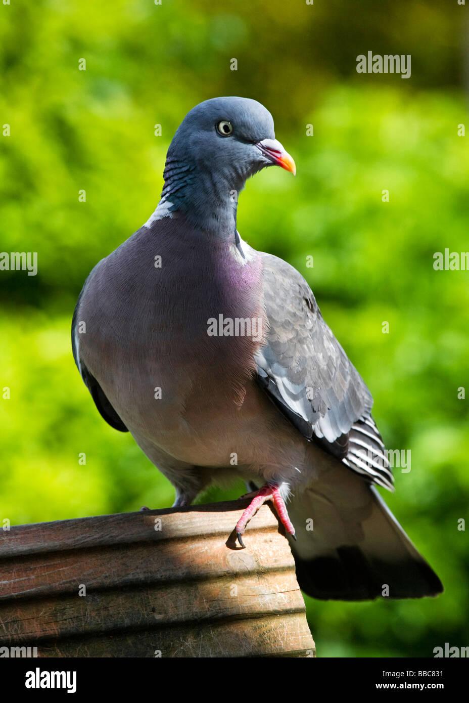 A Wood Pigeon Columba palumbus, perched on top of a garden bird house. - Stock Image